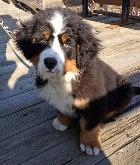 Charlie-the-Bernese-Mountain-Dog puppy