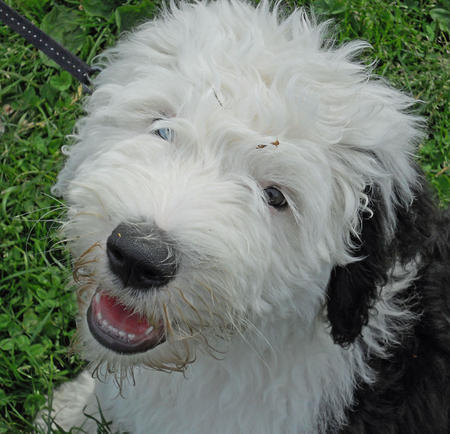 Wellington-the-Old-English-Sheepdog puppy