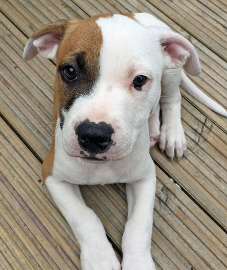 Tiger-the-Bull-Terrier-Mix puppy