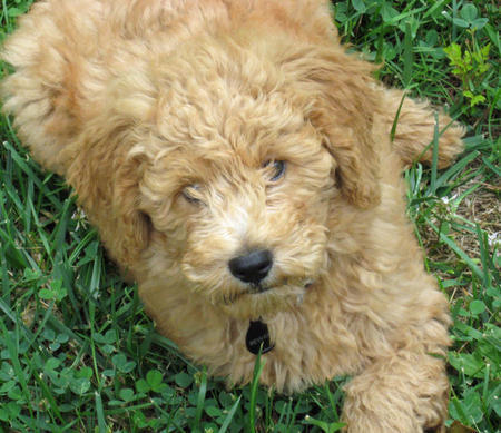 Bodie-the-Goldendoodle puppy