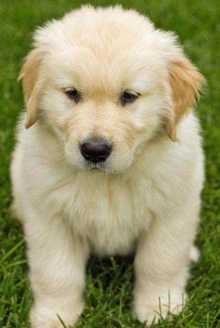 Breaker-the-Golden-Retriever puppy