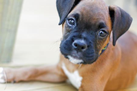 Duke-the-Boxer puppy