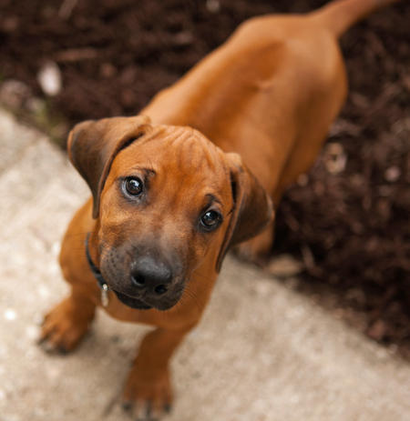 Duke-the-Rhodesian-Ridgeback puppy