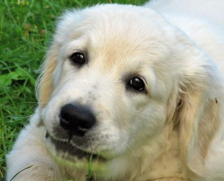 Louie-the-Golden-Retriever puppy