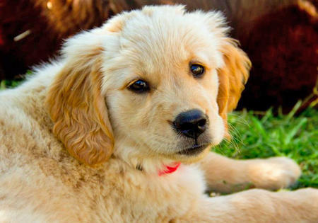 Riley-the-Golden-Retriever puppy