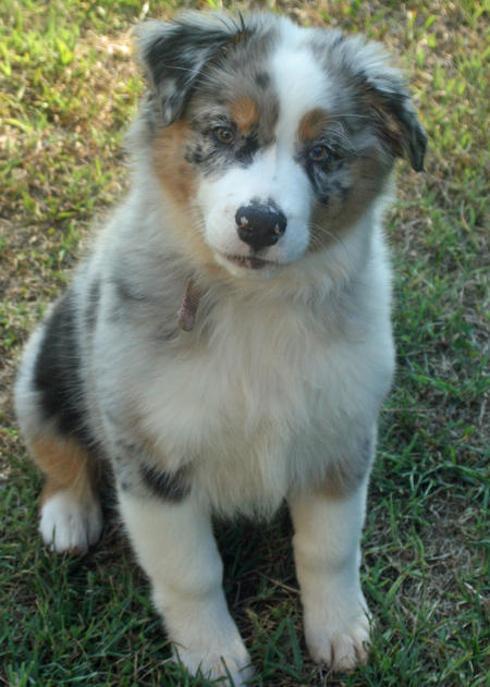 Shiloh-the-Australian-Shepherd puppy