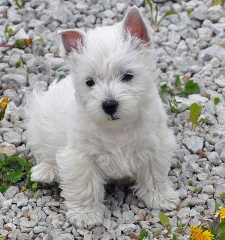 Bjanka-the-West-Highland-White-Terrier puppy